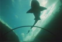 sharks at Siam