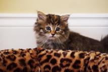Daphne as a kitten